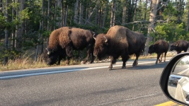 A family of bison walking down the road