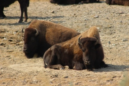 Closeup of roadside bison